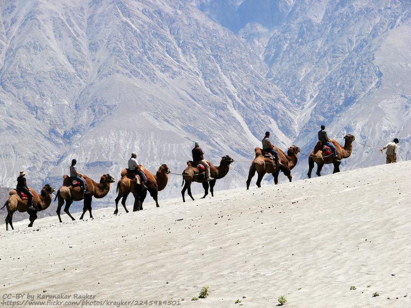 nubra camel