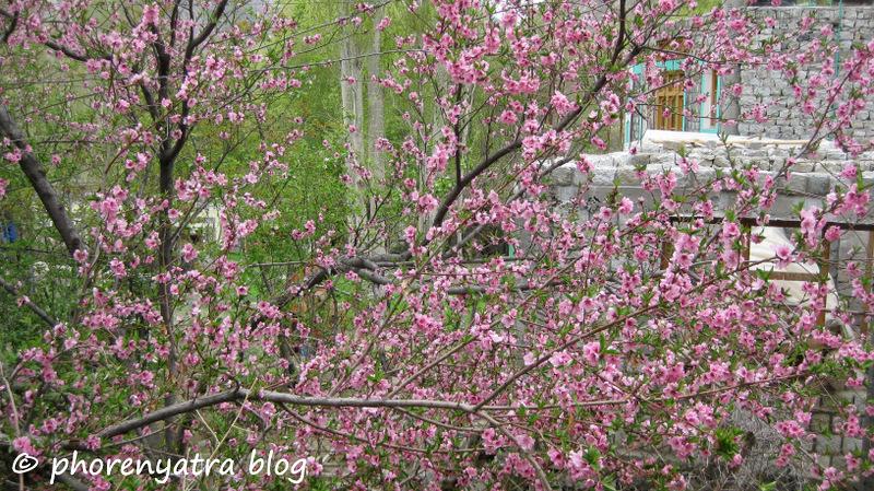 turtuk blossoms