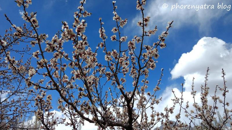 apricot blossoms nubra