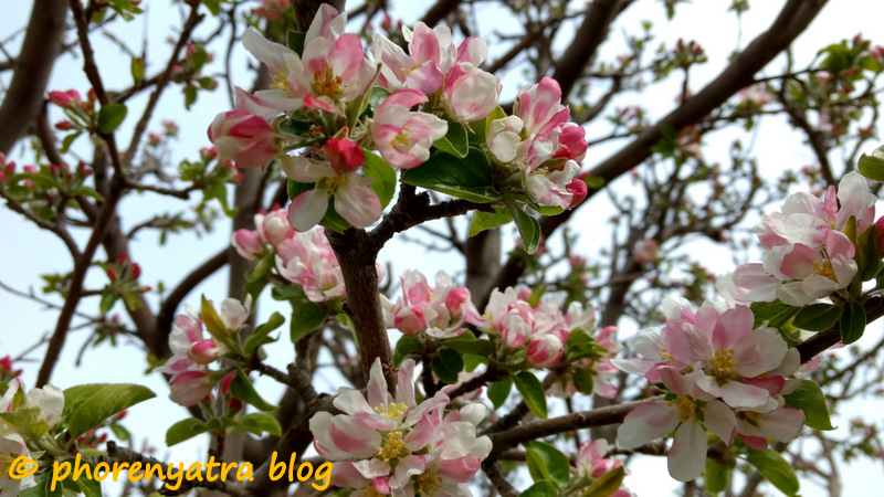 apple blossoms nubra