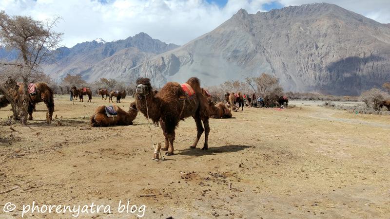 bactrian camel nubra hunder