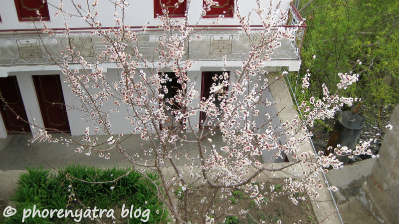 spring blossoms at Thiksey monastery