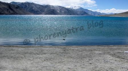 Pangong Lake seagull