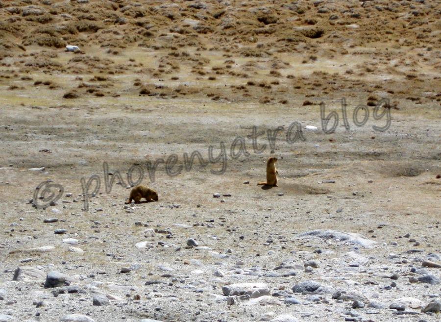 marmots Pangong drive