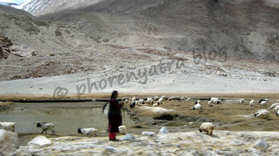 sheep hearding Pangong