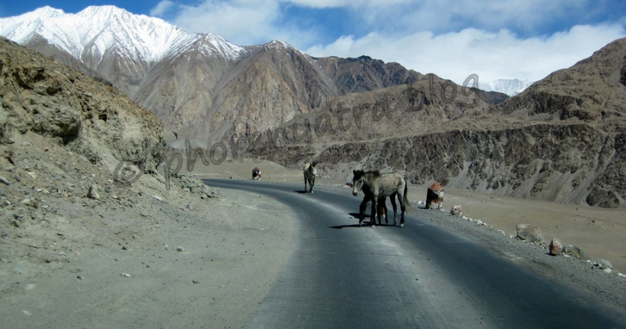 donkey at ChangLa pass