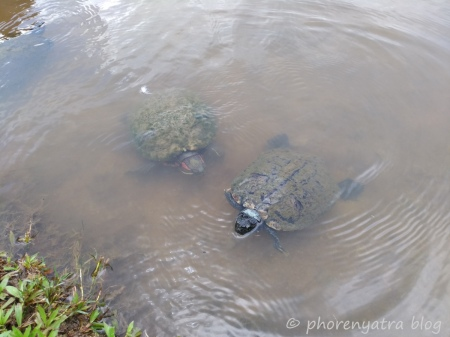 Turtles at Orchid Garden