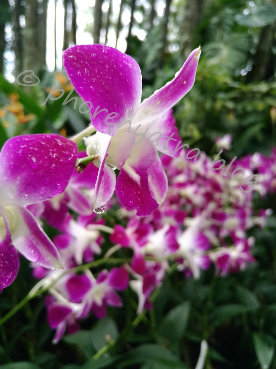 Singapore Orchids Colourful