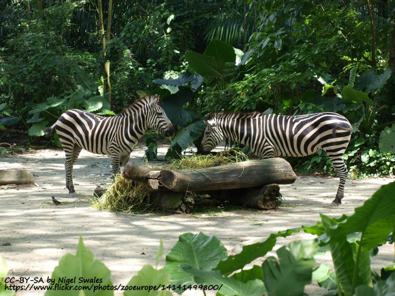 Zebra at Singapore Zoo