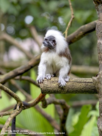 Tamarin at Singapore Zoo