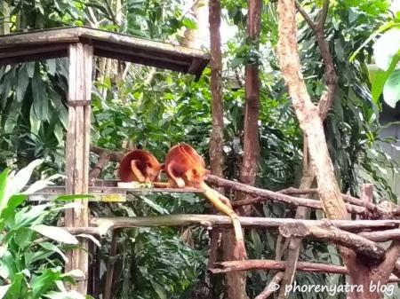 Baby Kangaroos at Singapore Zoo