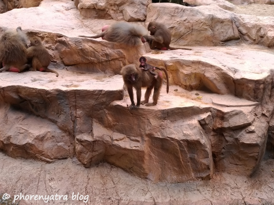 Baboons at Singapore Zoo
