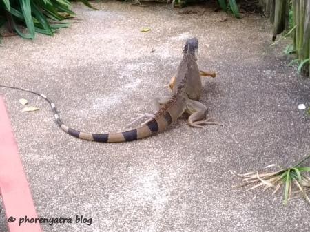 iguana roaming about jurong bird park