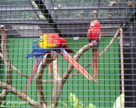 red parrot at jurong bird park